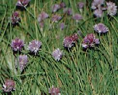 Allium schoenoprasum: Flowering chive