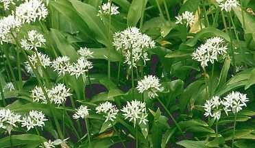 Allium ursinum: Bear's garlic
