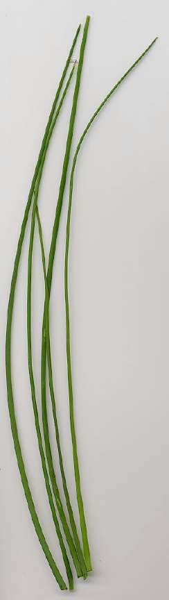 Allium schoenoprasum: Chives leaves