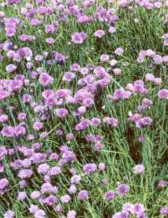 Allium schoenoprasum: Chives with flowers