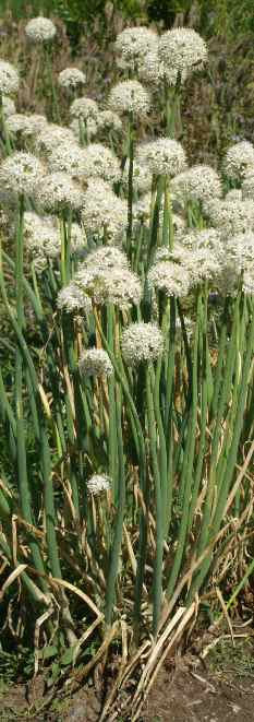 Allium cepa: Flowering onion plants