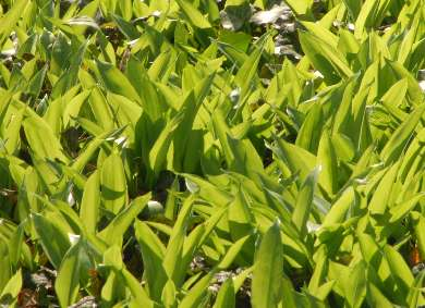Allium ursinum: Ramson in early springtime