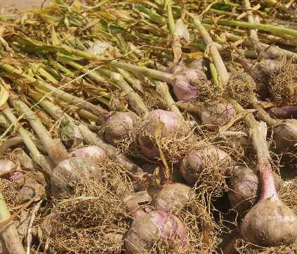 Allium sativum: Knoblauch am Markt in NepalALT