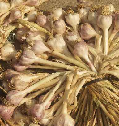 Allium sativum: Garlic fresh after the harvest