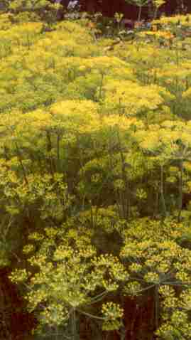Anethum graveolens: Dill plants in full flower