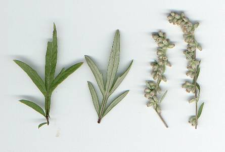 Artemisia vulgaris: Mugwort leaves and flowers