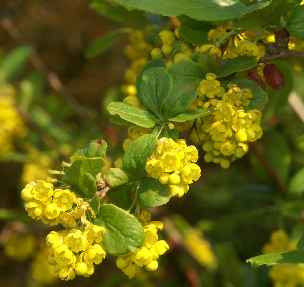 Berberis vulgaris: Barberry inflorescence