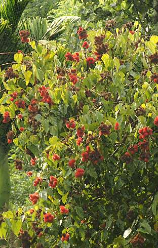 Bixa orellana: Annatto tree with fruit clusters