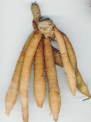 ~FINGERROOT~ Herb SPICE Boesenbergia pandurata CHINESE GINGER Live One Rhizome