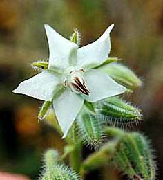 Borago officinalis: Albino borage