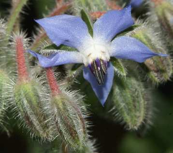 Borago officinalis: Borage flower close-up