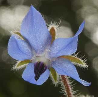 Borago officinalis: Borage flower