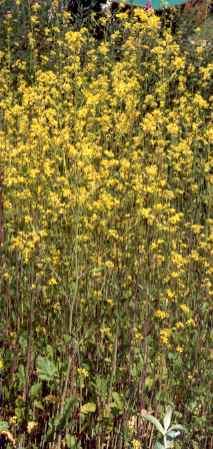 Brassica nigra: Black mustard field in flower