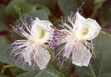 Capparis spinosa: Flowers of Caper