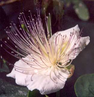 Capparis spinosa: Caper flower
