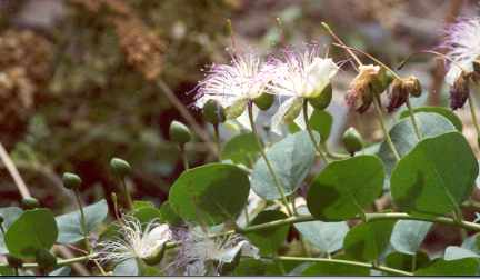 Capparis spinosa: Caper branch with flowers