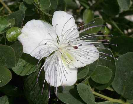 Capparis spinosa: Caper plant with flower