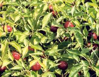Spice Pages: Paprika (Capsicum annuum)