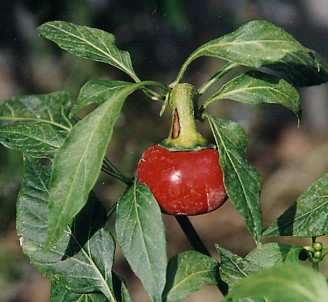 Capsicum annuum: Hungarian cherry pepper (Hungary)