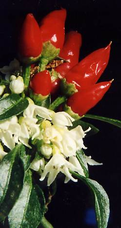 Capsicum annuum: Ornamental chili with fruits and flowers