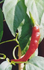 Capsicum annuum: European pointed chile variety