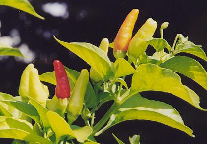Capsicum frutescens: Hawaii-Chili