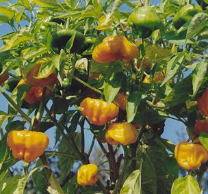 Capsicum chinense: Scotch Bonnet Busch