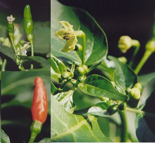Capsicum chinense: Tobago bird pepper