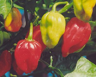 Capsicum chinense: Red Dominica Habanero