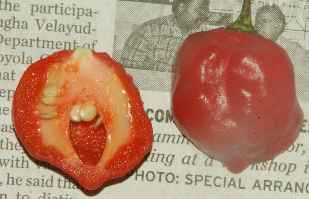 Capsicum chinense: Ney milagai, chile from Nilgiri mountains, Tamil Nadu/Kerala, South India