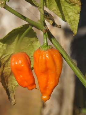 Capsicum chinense cf. Nagahari: Naga Jolokia chili growing in Nagaland