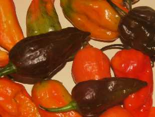 Capsicum frutescens: Umorok Chili (Imphal/Manipur), hottest chile of the world, chocolate brown pods