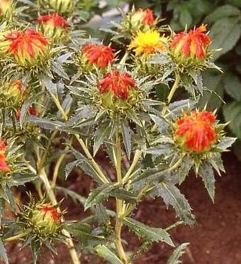Spice Pages: Safflower (Carthamus tinctorius)