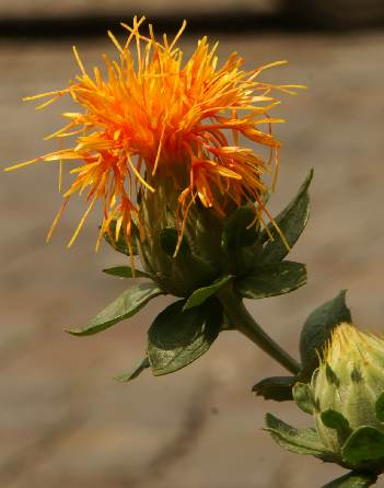 Carthamus tinctorius: Flower head of safflower