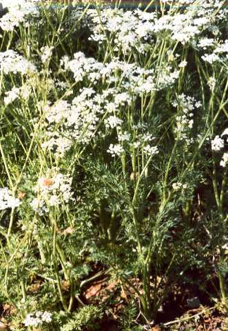 Carum carvi: Caraway flants with flowers