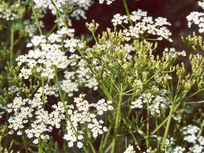 Carum carvi: Caraway plant with fruits and flowers