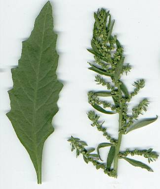 Chenopodium ambrosioides: Epazote leaf and flowers