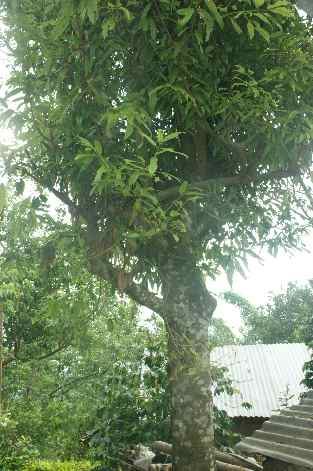 Cinnamomum tamala: Indonesian laurel tree