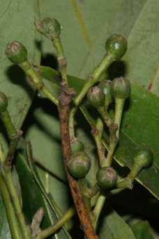 Cinnamomum tamala: Unripe fruits of Indian Bay