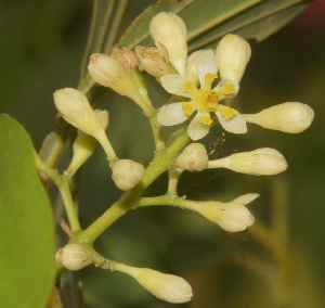 Cinnamomum tamala: Indian Bay-Leaf (tejpat), flowers