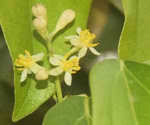 Cinnamomum tamala: Indian Bay-Leaf (tejpatta), flowers