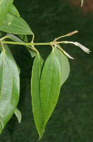 Cinnamomum tamala: Twig of Indian Laurel