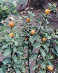 Citrus sinensis: Orange tree