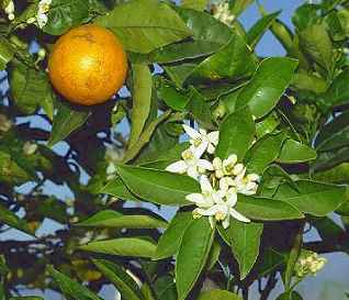 Citrus sinensis: Orange