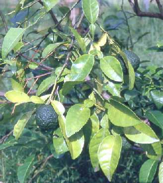 Citrus aurantifolia: Lime shrub