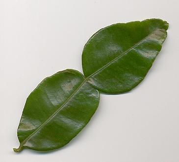 Liście limonki Kaffir