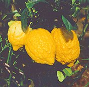 Citrus medica: Edible citron