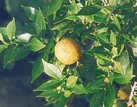 Citrus aurantium var. myrtifolia: Myrtle leaved orange