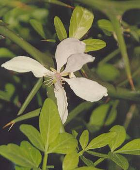 Poncirus trifoliata: Three-leaved lemon flower