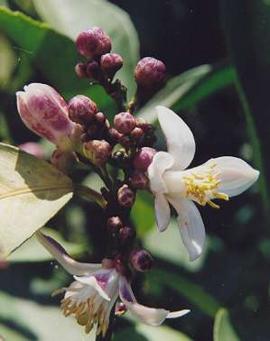 Citrus limon: Lemon flower